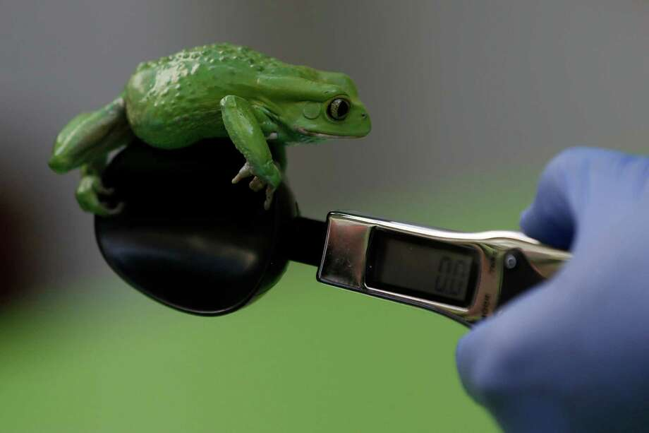 A zoo keeper weighs a waxy monkey frog during the annual weigh-in at London Zoo, London, Wednesday, Aug. 21, 2013,  where creators are weighed and measured for their measurements to be recorded into the Zoological Information Management System (ZIMS). The frog weighted in at 40g. (AP Photo/Sang Tan) ORG XMIT: LST105 Photo: Sang Tan, AP / AP