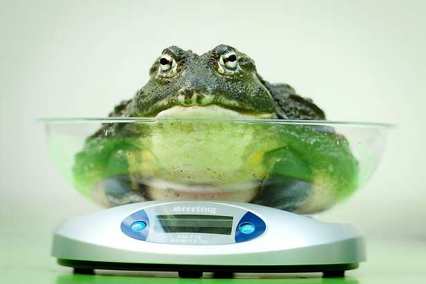An African Bullfrog is placed on a weighing scale during the London Zoo's annual weigh-in in London on August 21, 2013. The task involves weighing and measuring the population of the zoo, before the information is shared with zoos across the world, allowing them to compare data on thousands of endangered species.