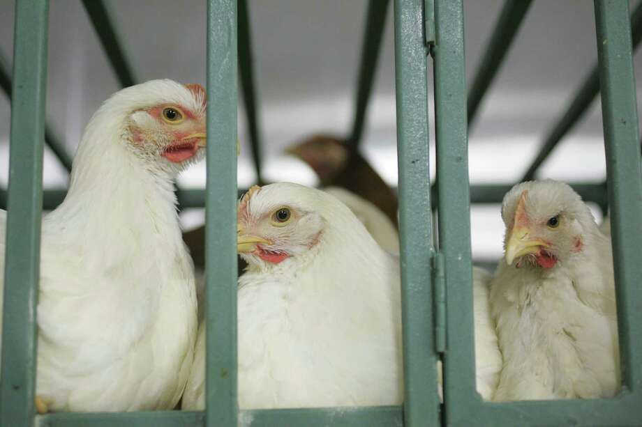 Chickens and other poultry aren't as dumb as we typically think. They shouldn't be subjected cruel conditions.