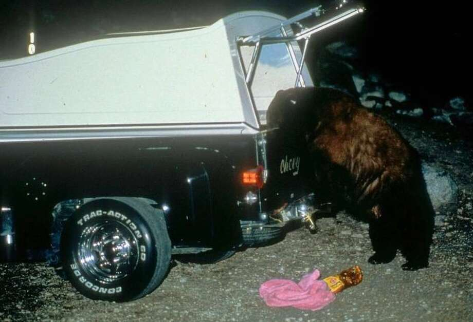 Black bear makes night raid in back of pick-up truck Photo: Sequoia National Park