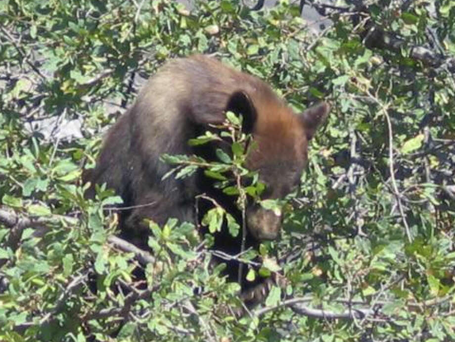 Black bear eating acorns, a primary staple for their fall diet Photo: Sequoia National Park