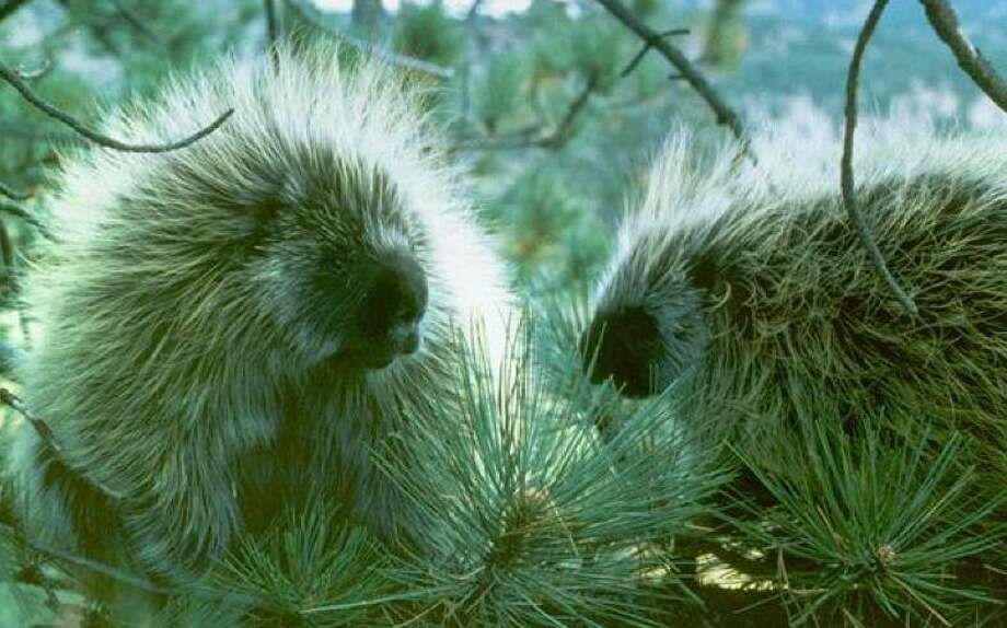 How the heck do porcupines ever get together to make little porcupines?