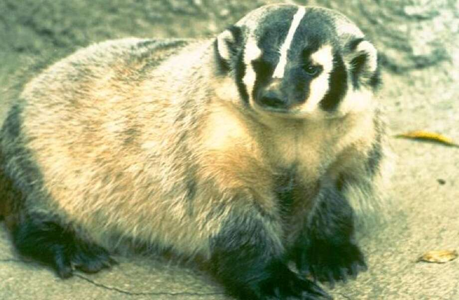Badger makes for a prize photo -- three of them lived on a wildlife preserve I managed Photo: National Park Service