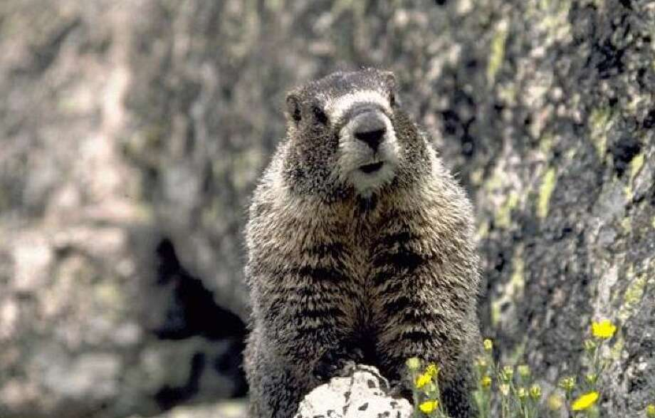 Marmots will stare at you and appear to think you don't see them Photo: National Park Service