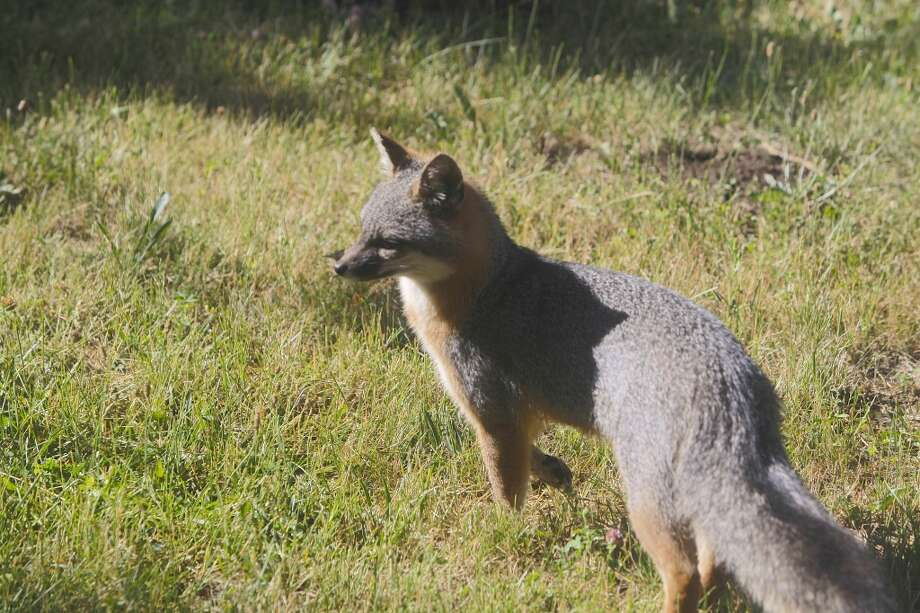 I spotted this gray fox that appeared to be stalking a newborn fawn . . . Photo: Tom Stienstra