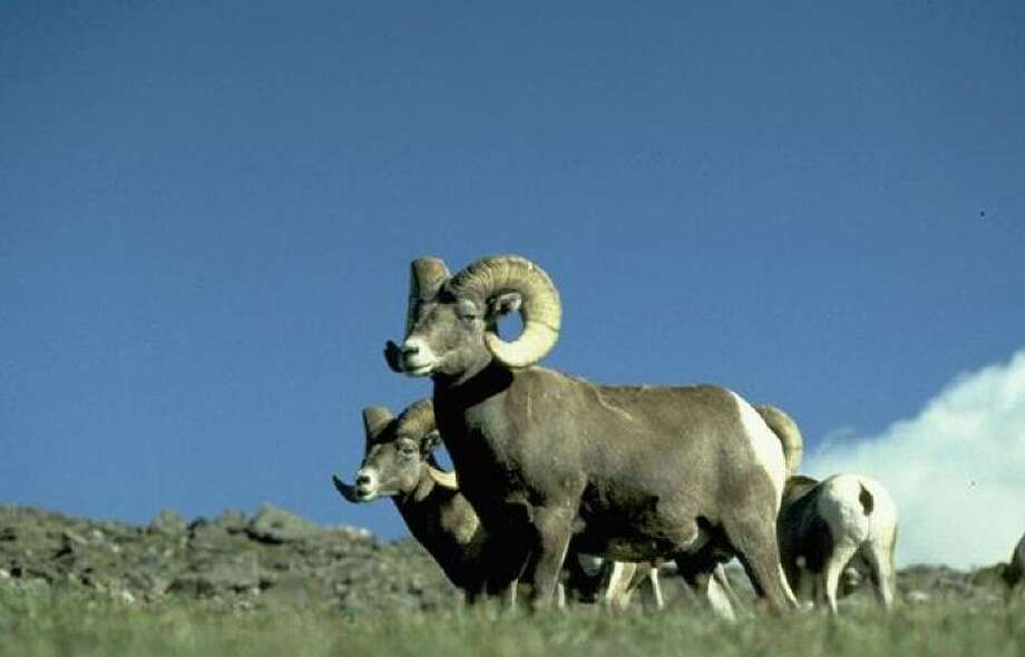 Bighorn sheep can be ultimate photo prize for mountain trekkers Photo: National Park Service
