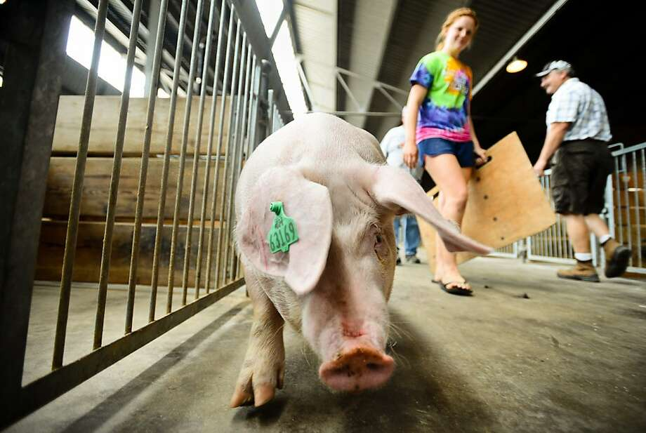 "Allison Harvey, 18 of Lake City, Minn. walks ""Herman,"" her 370-lb American Landrace pig, to his stall in the swine barn at the Minnesota State Fair in Falcon Heights, Minn., on Wednesday, Aug. 21, 2013.(AP Photo/The St. Paul Pioneer Press, Ben Garvin)  MINNEAPOLIS STAR TRIBUNE OUT Photo: Ben Garvin, Associated Press"