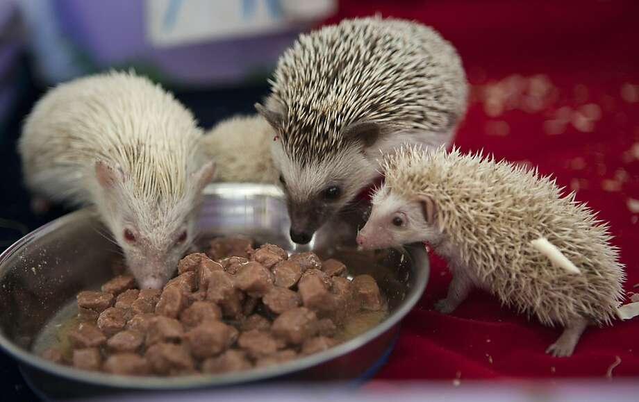 Save some for us, Mom:Gosha (center) and one of his newborn albino babies watch the infant's mother, Maria (left), chow down at a private zoo in Moscow. The tiny hedgehog is one of three albino babies born on the same day as the young Prince of Cambridge and named after him - George, Alexander and Louis. Photo: Alexander Zemlianichenko Jr, Associated Press