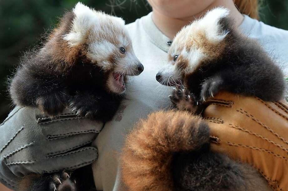 I'm no expert,but if you ask me, non-matching gloves is a fashion faux-pas.   (Red pandas, zoo in Leipzig, Germany.) Photo: Hendrik Schmidt, AFP/Getty Images