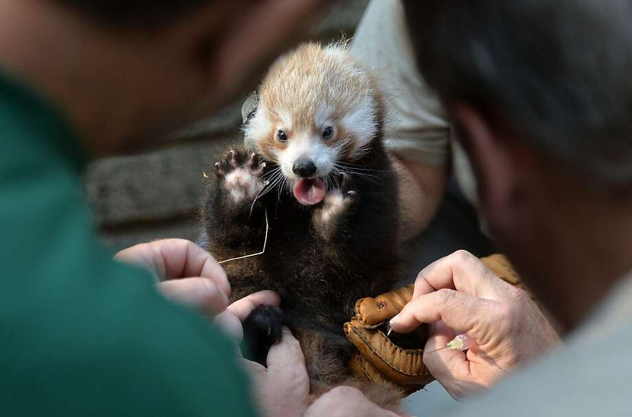 Don't touch me with those pink things!Of course, non-matching gloves are still   preferable to no gloves at all. (Red panda, Leipzig Zoo.) Photo: Hendrik Schmidt, AFP/Getty Images