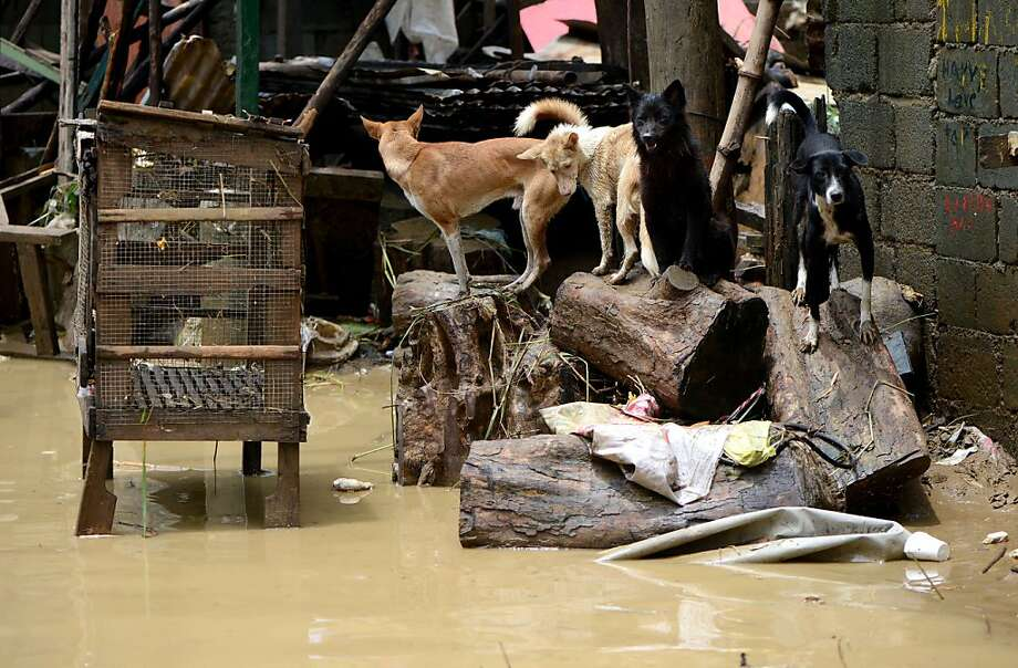 Well, this is another fine mess: Pet dogs take refuge on tree stumps to stay dry in a flooded street in San Mateo, east of Manila. Disaster-weary Philippine residents mopped up after 