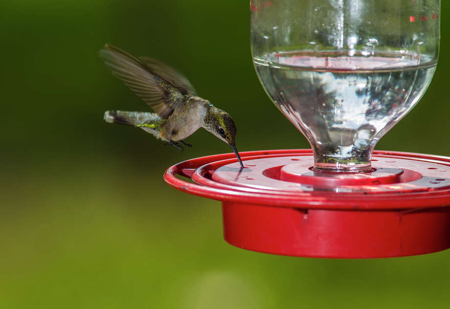 Ruby-throated hummingbird numbers will begin to swell in the area as birds migrate through the Texas coastal region this fall. Photo: Kathy Adams Clark / Kathy Adams Clark/KAC Productions