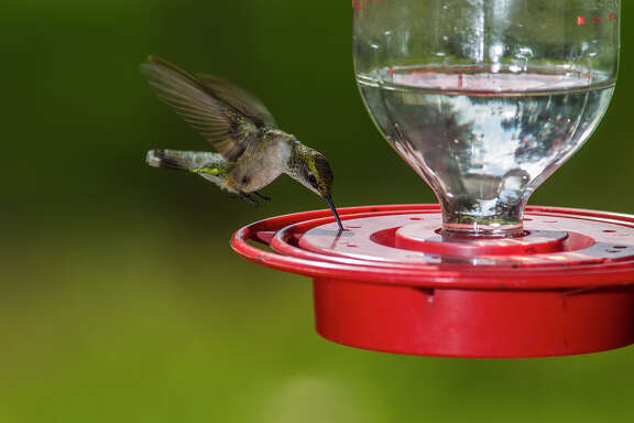 Ruby-throated hummingbird numbers will begin to swell in the area as birds migrate through the Texas coastal region this fall.