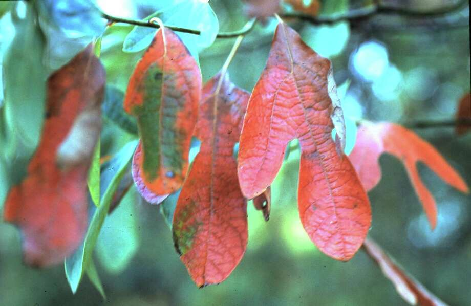 Sassafras leaves can be dried and ground to create filé to season gumbo, and the native plant's foliage is beautiful in the fall garden.