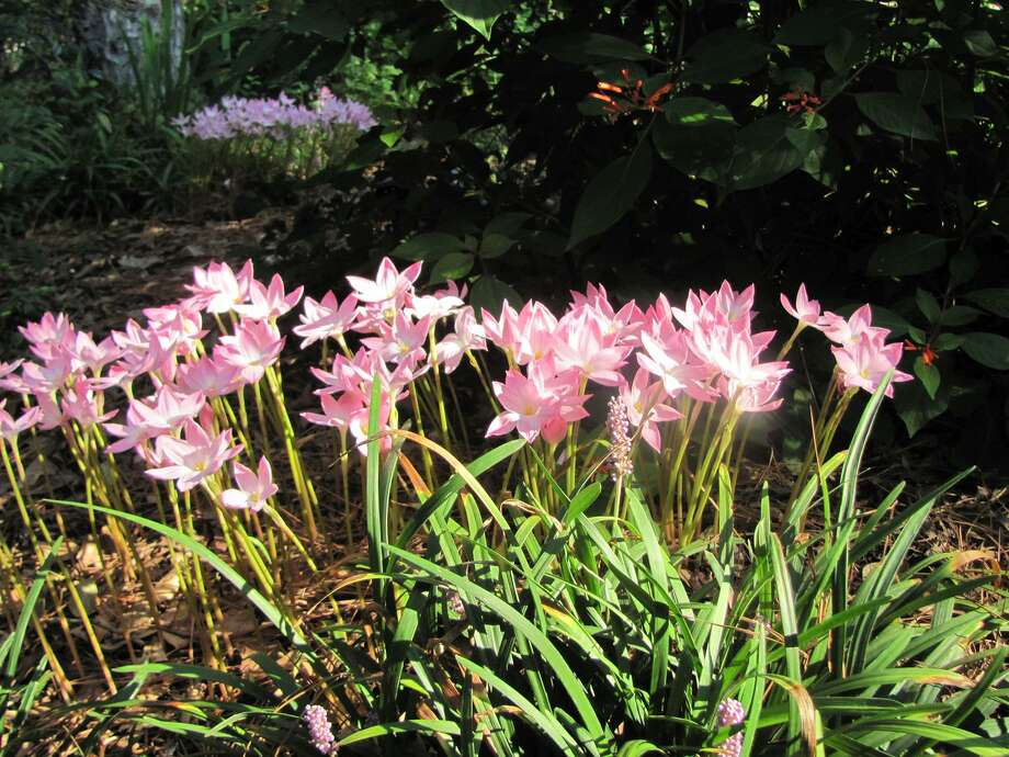 A couple days after a recent rain, Janet Griffiths discovered a bed of rainlilies. Photo: Picasa