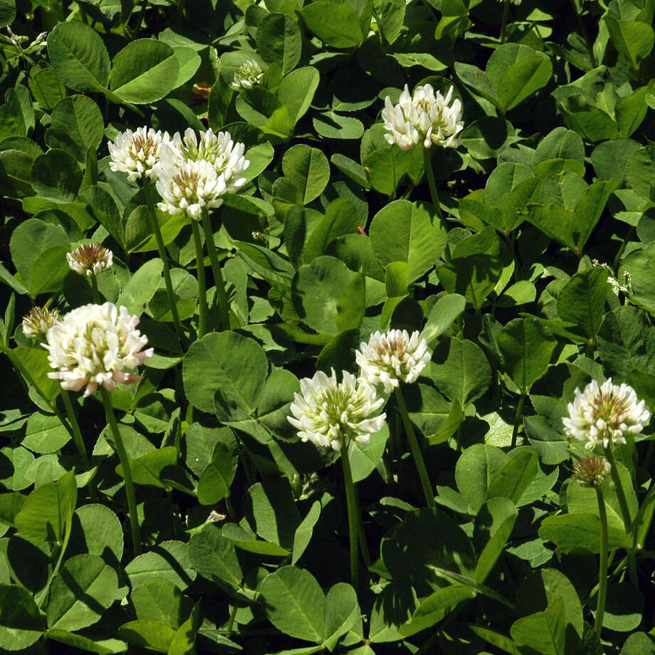 White clover can be eliminated with 2,4-D. Photo: Courtesy Neil Sperry