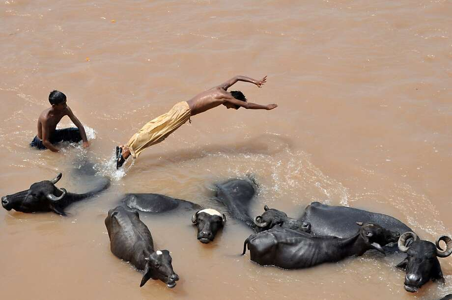 River relief:A nomadic herder uses a water buffalo for a diving platform in the flooded River Tawi 