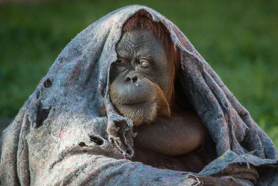 Bundle up, I will. Yes. Hmmm: An orangutan covers itself against the winter chill in Rio 