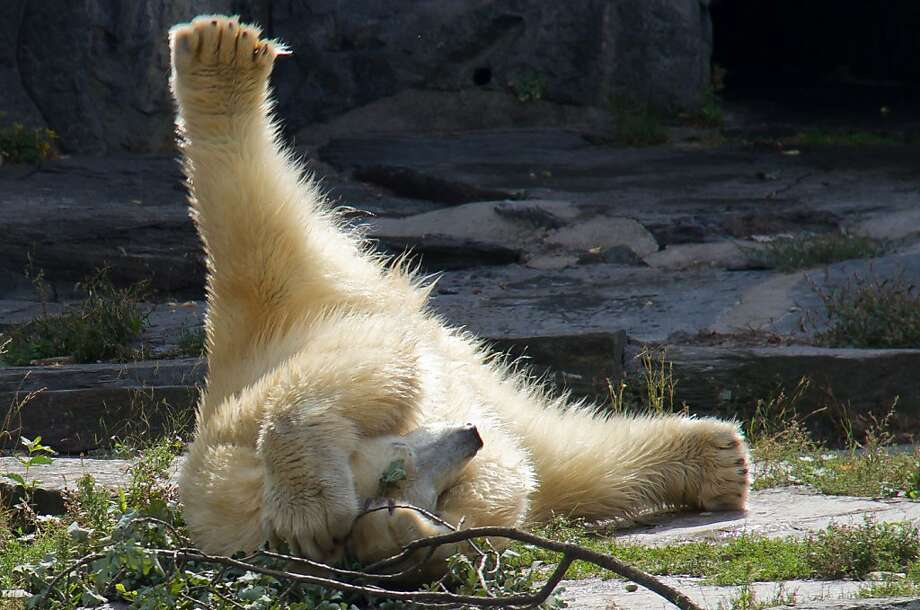 Oh my god, she looked at me!Wolodja, the young male polar bear at the Berlin-Friedrichsfelde   Zoo, was brought from Moscow to be the mate for the zoo's female, Tonja. But so far, he   doesn't appear to be much of ladies man, er, bear. Photo: Susanne Petersohn, Associated Press
