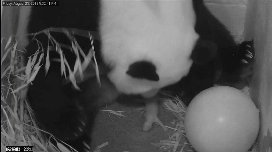 In an image from video provided by the Smithsonian Institution, Mei Xiang gives birth to her third cub Friday at the National Zoo in Washington, D.C. Photo: HOPD / Smithsonian National Zoo