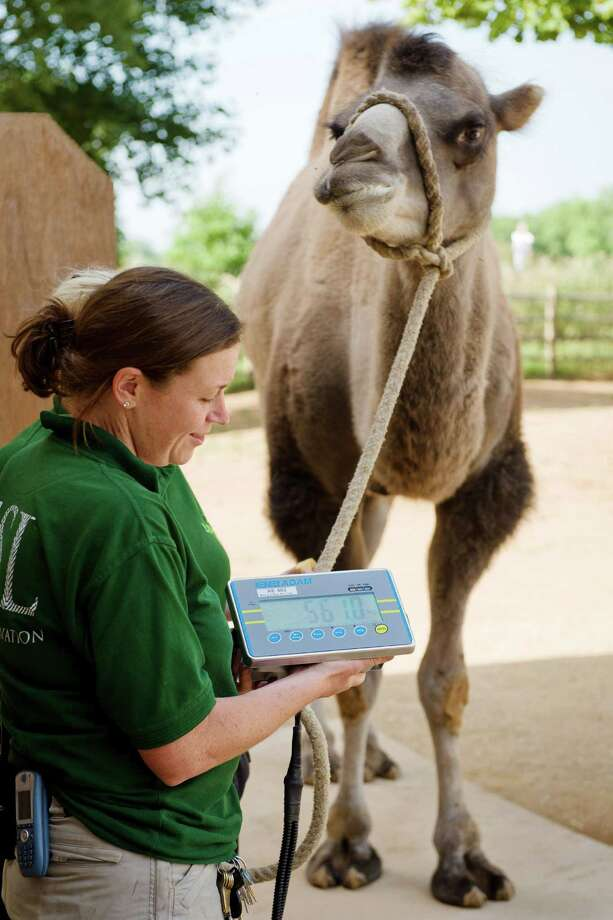 Ghenghis, a Bactrian camel, is weighed during the London Zoo's annual weigh-in in London on August 21, 2013. The task involves weighing and measuring the population of the zoo, before the information is shared with zoos across the world, allowing them to compare data on thousands of endangered species. Photo: LEON NEAL, AFP/Getty Images / AFP