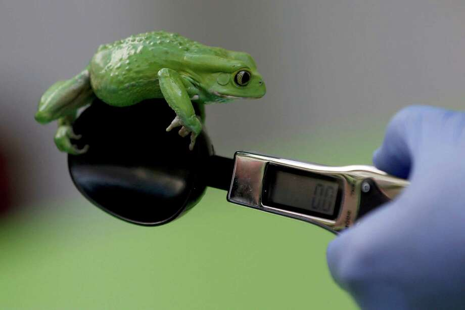 A zoo keeper weighs a waxy monkey frog during the annual weigh-in at London Zoo, London, Wednesday, Aug. 21, 2013,  where creatures are weighed and measured for their measurements to be recorded into the Zoological Information Management System (ZIMS). The frog weighted in at 40g. Photo: Sang Tan, Associated Press / AP