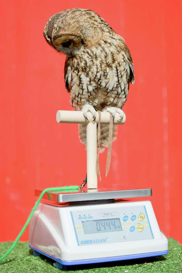Owlberta, a Tawny Owl, is weighed during the London Zoo's annual weigh-in in London on August 21, 2013. The task involves weighing and measuring the population of the zoo, before the information is shared with zoos across the world, allowing them to compare data on thousands of endangered species. Photo: LEON NEAL, AFP/Getty Images / AFP