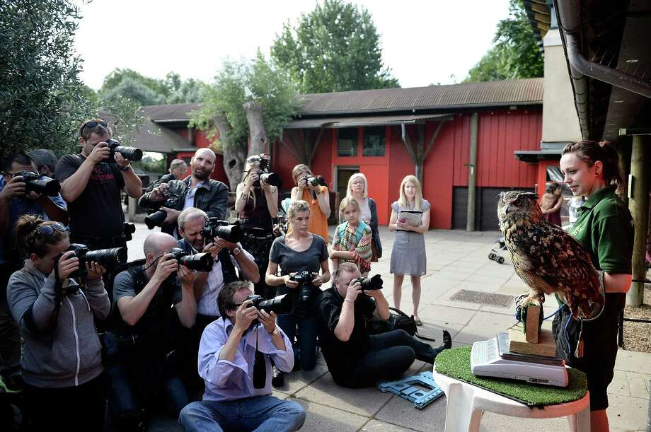 Photographers photograph 1.9kg Max the Eurasian eagle owl on the scales at London Zoo on August 21, 2013 in London, England.  The height and mass of every animal in the zoo, of which there are over 16,000, needs to be recorded. The measurements are collated in the Zoological Information Management System, from which zoologists can use the data to compare information on thousands of endangered species. Photo: Bethany Clarke, Getty Images / 2013 Getty Images