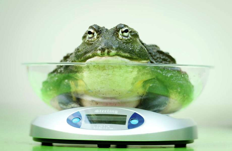 An African Bullfrog is placed on a weighing scale during the London Zoo's annual weigh-in in London on August 21, 2013. The task involves weighing and measuring the population of the zoo, before the information is shared with zoos across the world, allowing them to compare data on thousands of endangered species. Photo: LEON NEAL, AFP/Getty Images / AFP