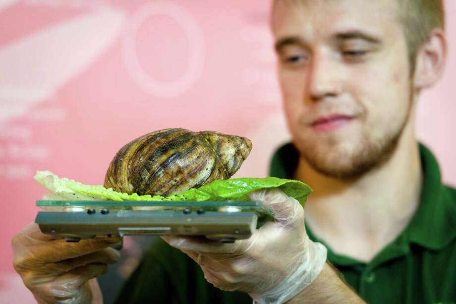 An African Land Snail is weighed during the London Zoo's annual weigh-in in London on August 21, 2013. The task involves weighing and measuring the population of the zoo, before the information is shared with zoos across the world, allowing them to compare data on thousands of endangered species. Photo: LEON NEAL, AFP/Getty Images / AFP