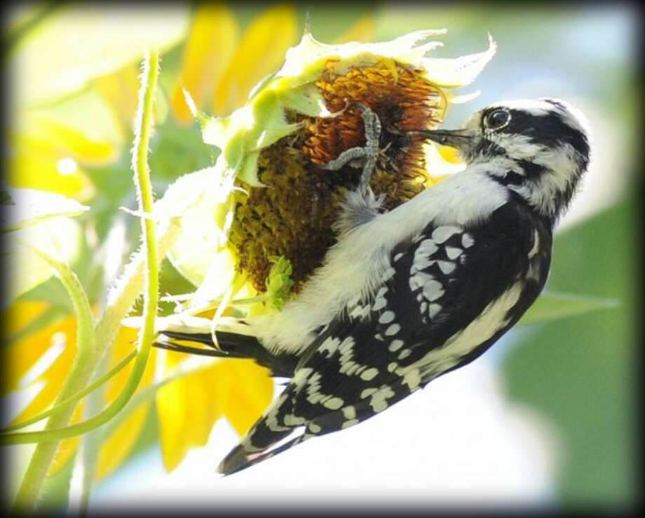 A woodpecker clutching the head of a sunflower with its feet, eats the seeds of the plant with its back nearly parallel to the ground at a Byram Road home in Greenwich, early Saturday afternoon, August 24, 2013.