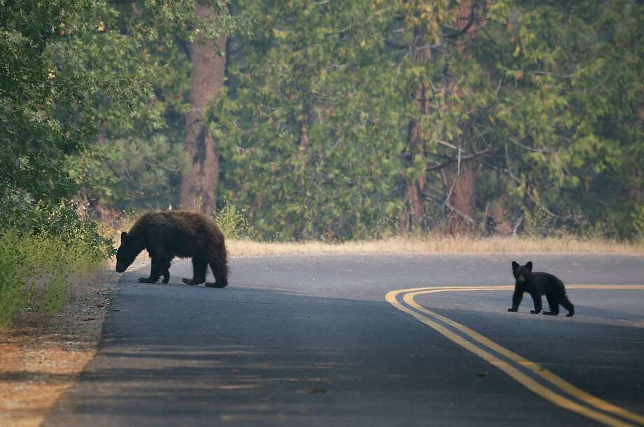 A bear and cub roam Saturday near the Rim Fire in Yosemite National Park, California. The blaze continues to burn out of control and threatens thousands of homes outside the park. Photo: Justin Sullivan, Getty Images / 2013 Getty Images