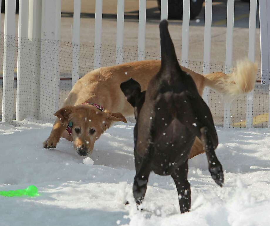 "A Golden Labrador Retriever named ""Mollie,"" left, plays in the snow during the Unleashed by Petco Annual Summer Snow Day for Dogs. Photo: James Nielsen, Houston Chronicle / © 2013  Houston Chronicle"