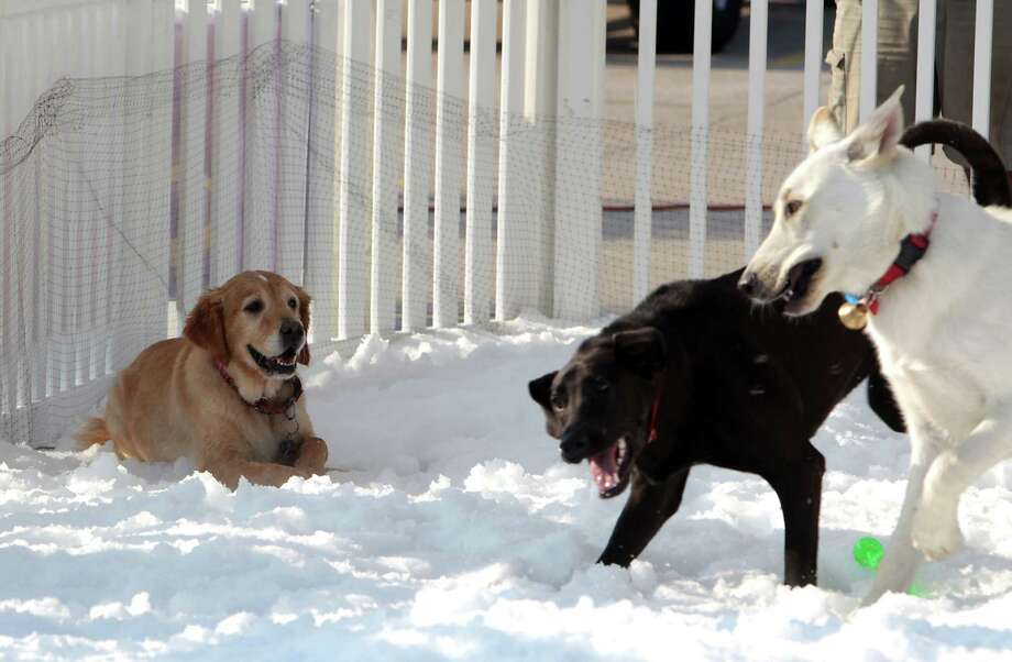 "A Golden Labrador Retriever named ""Mollie,"" left, looks on as dogs play in the snow during the Unleashed by Petco Annual Summer Snow Day for Dogs. Photo: James Nielsen, Houston Chronicle / © 2013  Houston Chronicle"