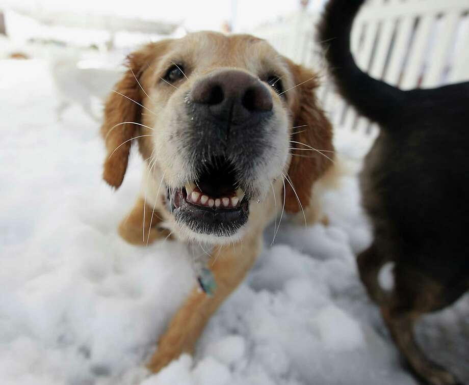 "A Golden Labrador Retriever named ""Mollie"" plays in the snow during the Unleashed by Petco Annual Summer Snow Day for Dogs. Photo: James Nielsen, Houston Chronicle / © 2013  Houston Chronicle"