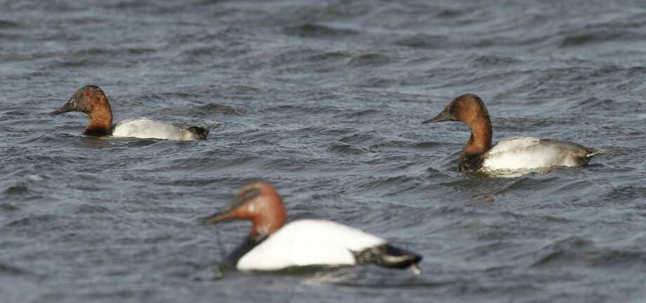 "Texas waterfowlers will be allowed to include two canvasbacks in their six-duck daily bag limit, the first time since 1964 hunters have been allowed to take more than one of the fast fliers often called ""the king of ducks."""