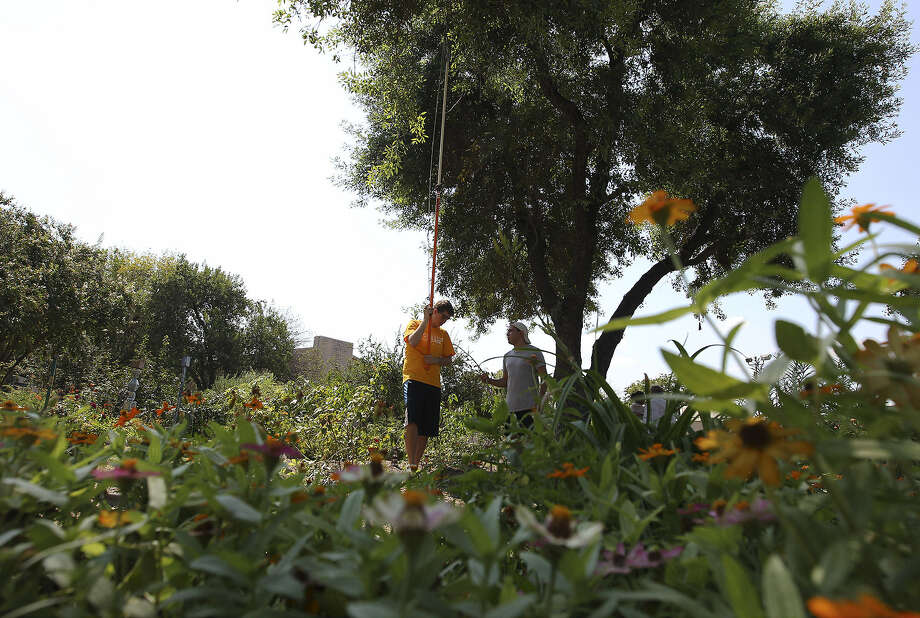 St. Mary's University seniors Ruben Figueroa (left) and Michael Rodriguez trim branches on a tree in a garden during their community service event. Photo: Kin Man Hui / San Antonio Express-News