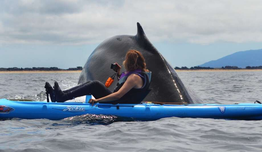 A humpback whale surfaced next to Karen Hatch last week as she paddled her kayak out of Moss Landing and into Monterey Bay Photo: Giancarlo Thomae