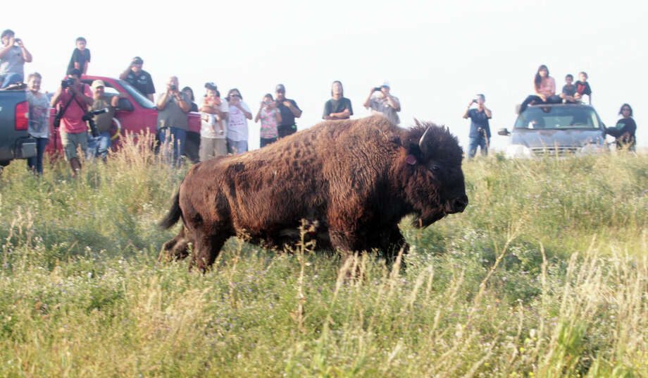 People gather to see bison released from a cattle carrier into a 900 acre fenced field on Fort Belknap Reservation in Montana Thursday Aug. 22, 2013.  Bison from the Fort Peck Reservation were transferred tot he Fort Belknap Reservation. Photo: AP