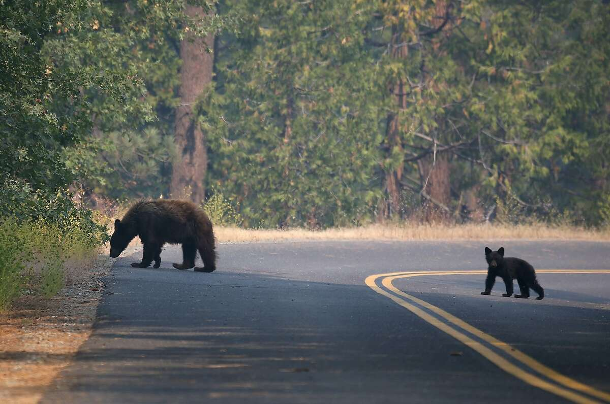 YOSEMITE NATIONAL PARK, CA - AUGUST 24: A bear and cub cross a road near the Rim Fire on August 24, 2013 in Yosemite National Park, California. The Rim Fire continues to burn out of control and threatens 4,500 homes outside of Yosemite National Park. Over 2,000 firefighters are battling the blaze that has entered a section of Yosemite National Park and is currently 5 percent contained. (Photo by Justin Sullivan/Getty Images)