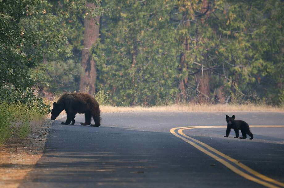 A bear and a cub cross a road in Yosemite National Park in August, a sight being repeated during the warm winter. Photo: Justin Sullivan, Getty Images