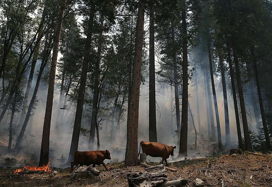 Cattle walk through a stretch of forest near Camp Mather that was burned by the Rim Fire last month. About 4,000 animals were grazing in the area when the fire began. Photo: Justin Sullivan, Getty Images