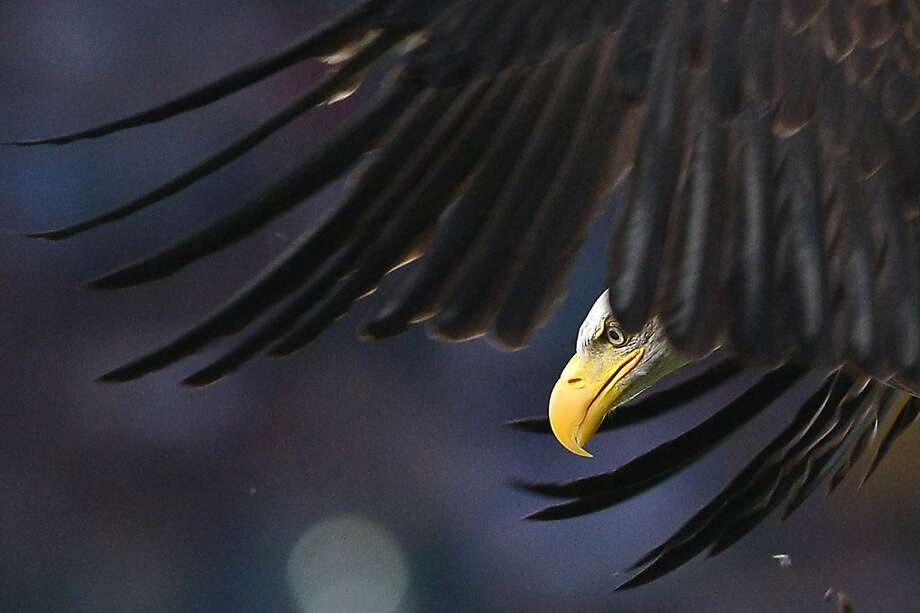 TOPSHOTS An eagle, mascot of the Lazio flies over the stadium prior the Italian Serie A football match between Lazio Rome and Udinese on August 25, 2013, at the Olympic stadium in Rome.  AFP PHOTO / GABRIEL BOUYSGABRIEL BOUYS/AFP/Getty Images Photo: Gabriel Bouys, AFP/Getty Images