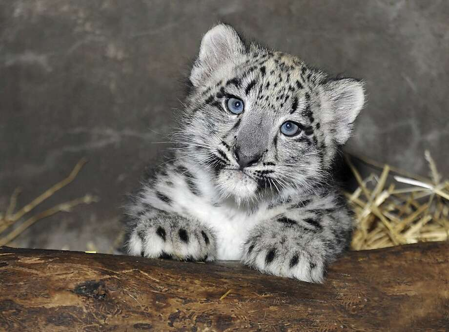 Baby's first scratching post:Well, it's more like a log, but this 2-month-old snow leopard at the Brookfield Zoo in Brookfield, Ill., isn't complaining. Photo: Jim Schulz, Associated Press
