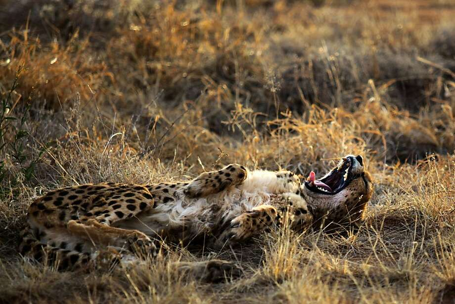 For some reason,cheetahs are occasionally mistaken for hyenas in Otjiwarongo, Namibia. Photo: Jennifer Bruce, AFP/Getty Images