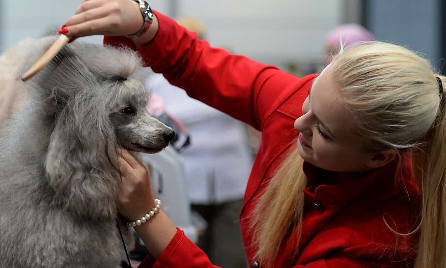 I want it just like yours: Eva Schmidt combs her poodle before a Dog & Cat pet fair in Leipzig, Germany. Photo: Hendrik Schmidt, AFP/Getty Images
