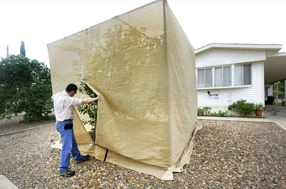 Dan Flores, Entomologist with the USDA in the Mission Laboratory, checks the developement of tamarixia radiate wasps in a field insectary cage in Wagon City Mobile Home Subdivision in Mission, TX. Flores and his staff grows and releases imported tamarixia radiate wasps which kill Asian Citrus psyllid that are responsible for spreading citrus greening, a bacteria that can kill citrus plants. Thursday, August 22, 2013. Flores and his team can mass produce the tamarixia in the neighborhood cages which cover a citrus tree. Photo: Bob Owen, San Antonio Express-News / © 2012 San Antonio Express-News