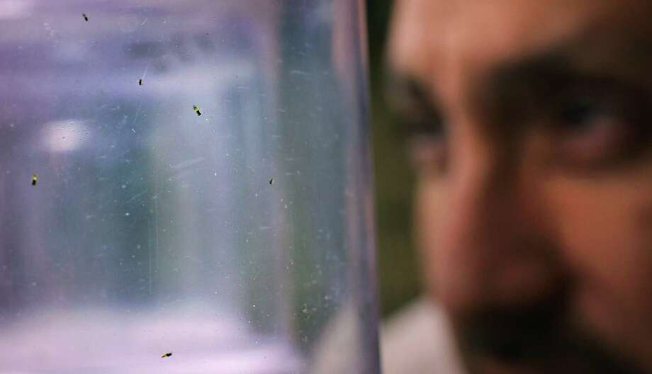 Entomologist Dan Flores looks at a jar of the imported Asian wasps, which scientists hope can be deployed pre-emptively against the psyllid. Photo: Bob Owen, Staff / © 2012 San Antonio Express-News