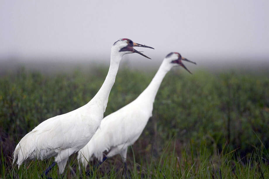 SAWS is worried about who would be responsible for maintaining whooping cranes' habitat. Photo: Texas Parks & Wildlife