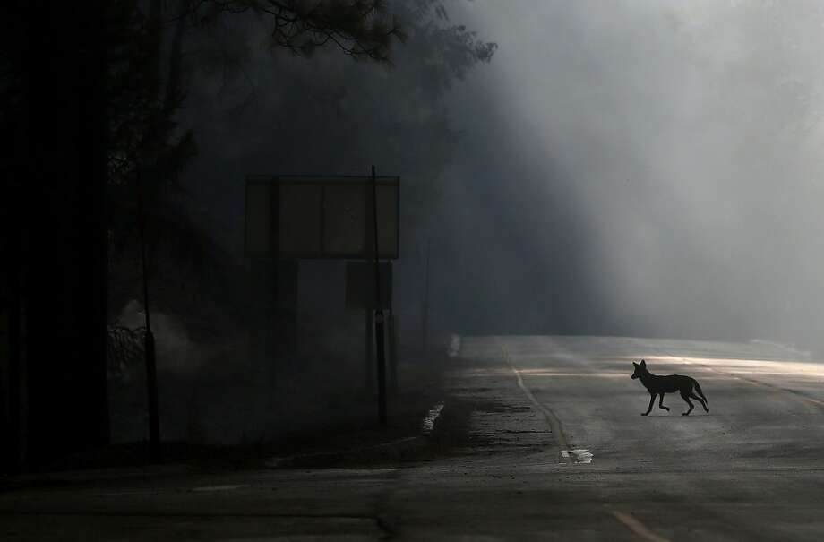 A coyote walks across U.S. Highway 120, shut down due to the Rim Fire on August 23, 2013 near Groveland, California. The Rim Fire continues to burn out of control and threatens 4,500 homes outside of Yosemite National Park. Photo: Getty Images
